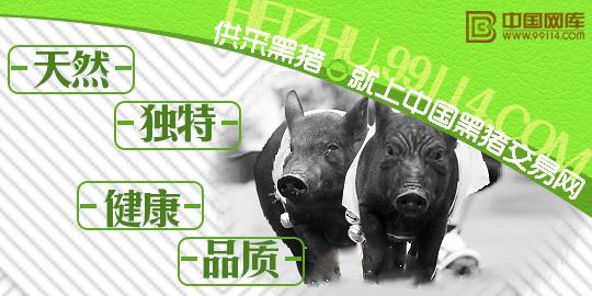 中国黑猪交易网采购