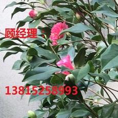 苏州造型树批发  造型黄杨   各类特色造型树