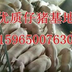山东猪场卖小猪 三元仔猪近期批发价格