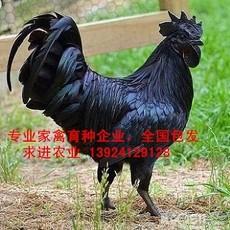 广东黑凤鸡苗厂家,诚招黑凤鸡苗销售代理