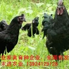 广东五黑一绿鸡苗厂家,诚招五黑一绿鸡苗销售代理