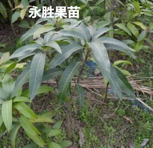 供应各种芒果苗 金煌芒果苗 果树苗木优质新品种嫁接苗 18277761802