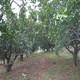 农家直供 果树树苗 橘子树苗 树形好