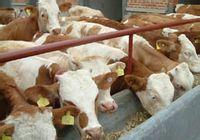 山西小牛犊价格 西门塔尔小牛犊价格