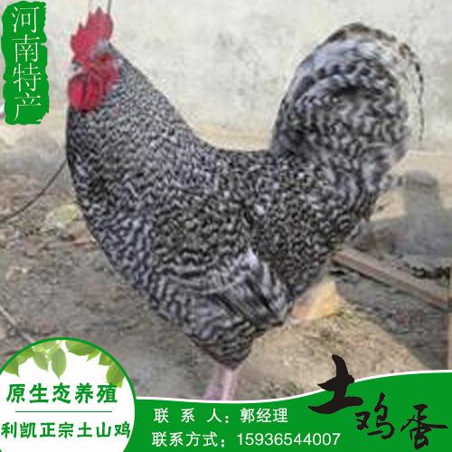 新乡利凯散养优质品种土鸡正宗农家土鸡 口味纯正散养土鸡批发销售