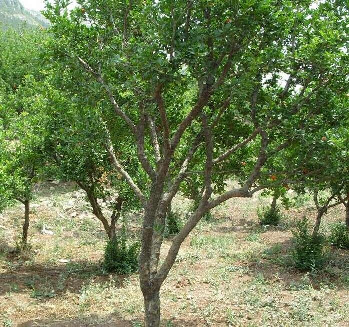 果园高效益品种石榴树苗 产量高 收益高