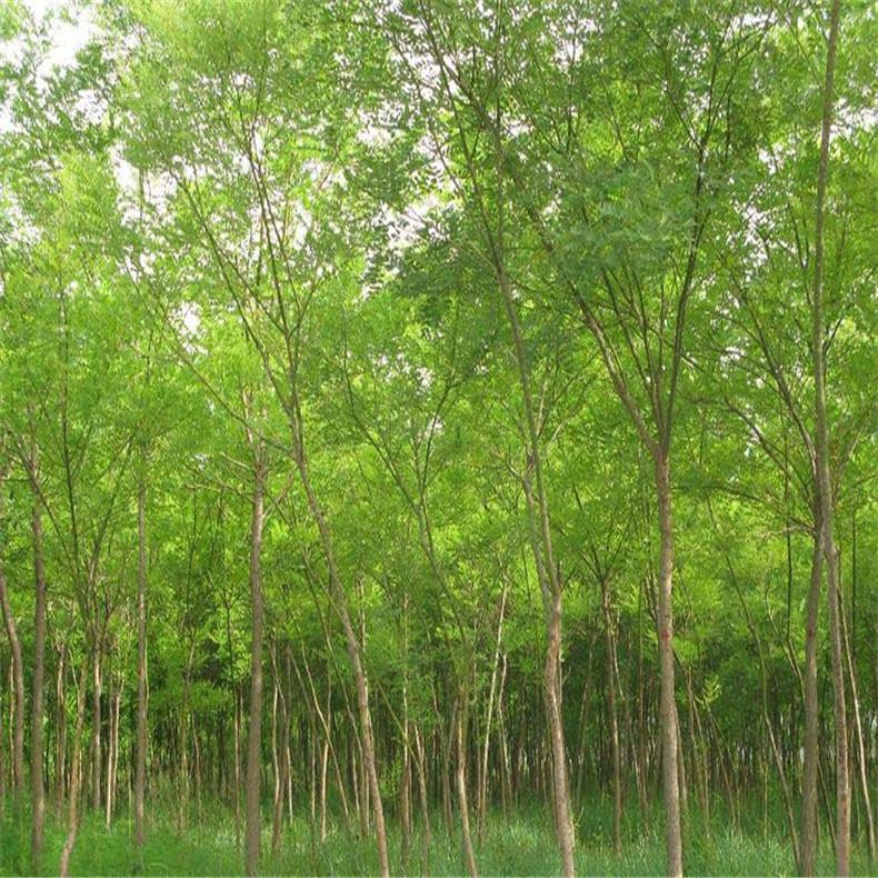 多规格国槐树 长期批发 供应高成活率国槐树
