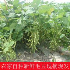 供应农家新鲜毛豆现摘现发带壳毛豆 生毛豆 青毛豆 绿毛豆