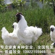 竹丝鸡苗养殖技术,竹丝鸡苗批发商现场培训