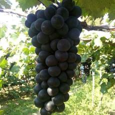 供应 出售辽宁北镇 巨峰葡萄优质培育优质葡萄