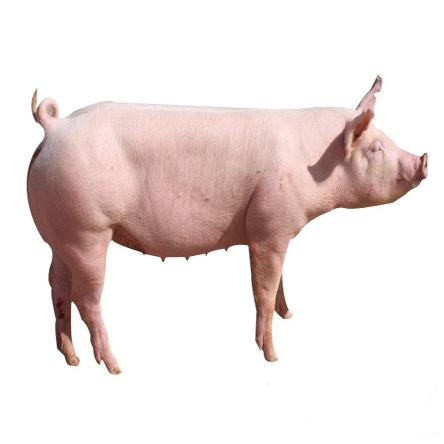 绿色无污染二元猪