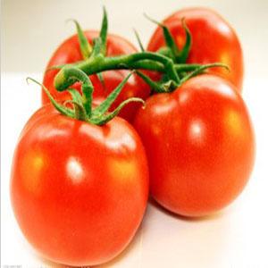 欧盾品种西红柿