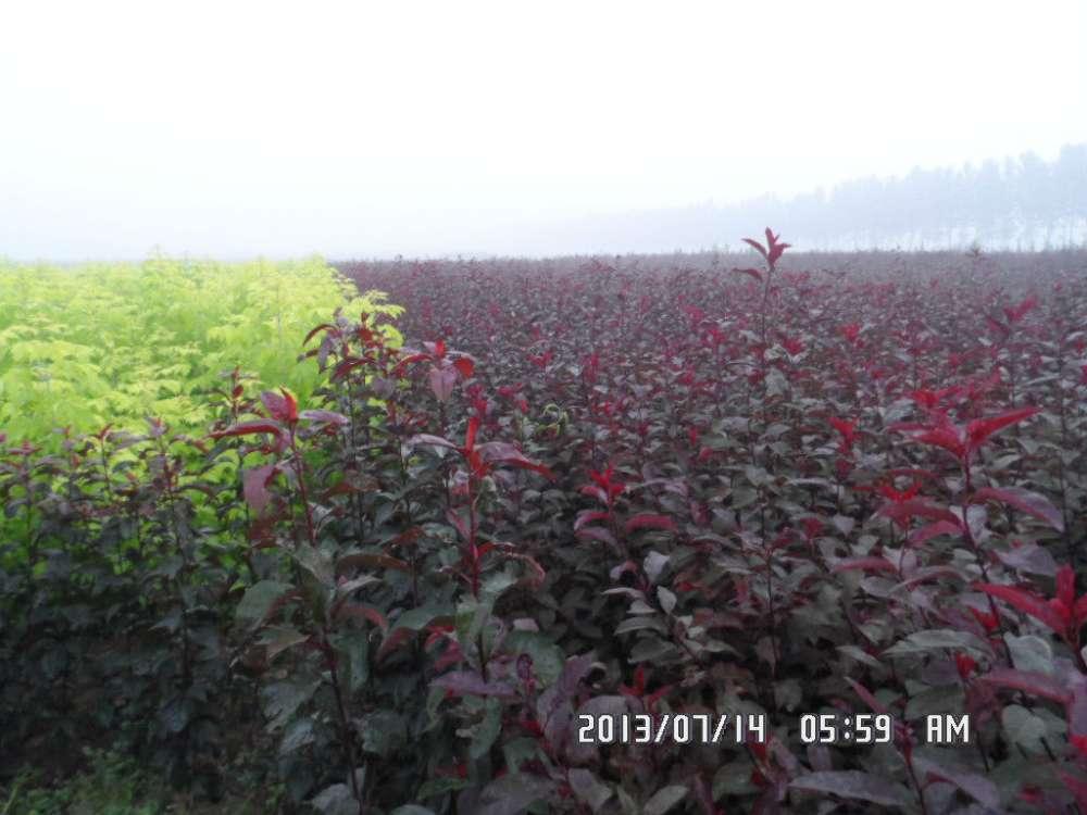叢生紫葉矮櫻出售,繁殖簡便生長快價格公道