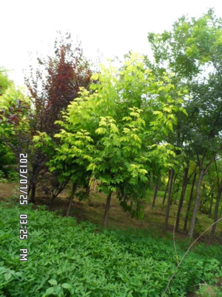 供应复叶槭繁育基地|复叶槭价格