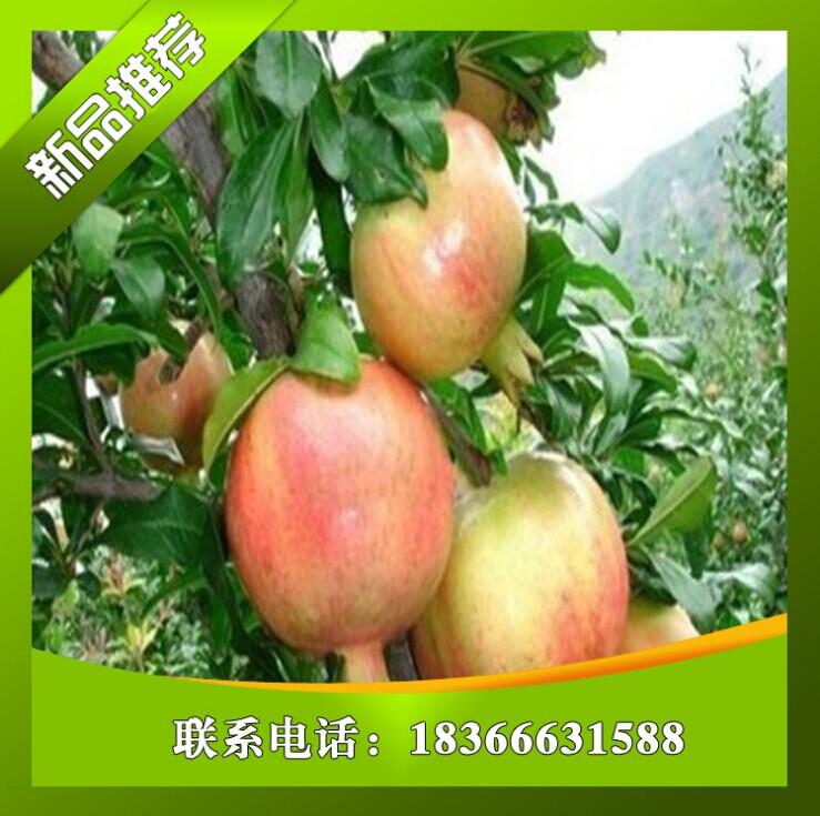 北京5公分泰山红石榴苗价格 嫁接红巨密梨树苗品种 果肉甜产量高