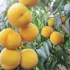 新品种桃树苗 中秋黄金蜜