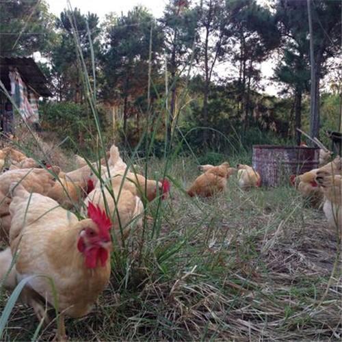 出售放养土鸡 食野草放养生长 正宗土鸡 三黄鸡  营养丰富 量大从优