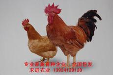 大红公鸡苗多少钱一只 厂家大红公鸡苗批发 价格实惠