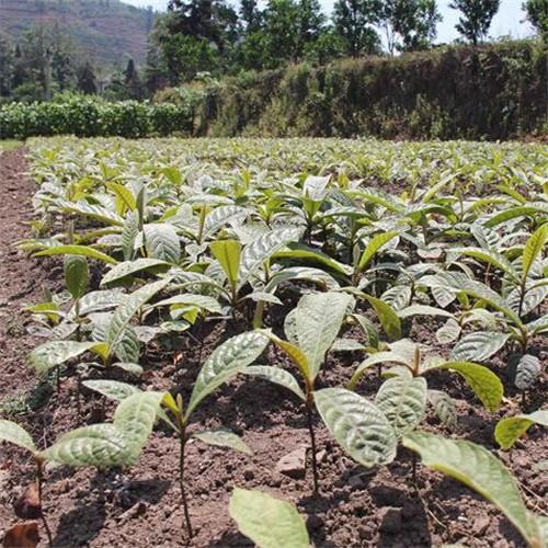 大量供应枇杷树苗 专业种植果树苗 成活率高 批发价格