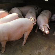 供应 生猪 肉猪 猪仔 猪苗 量大从优