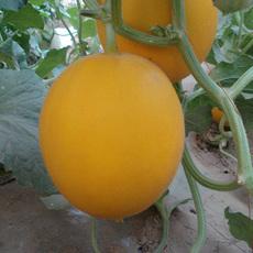 新乡原阳种植销售清甜可口的甜瓜