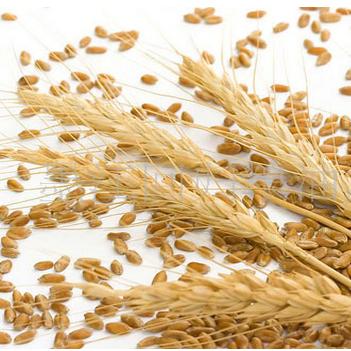 供应 绿色优质安徽小麦 有机小麦价格实惠