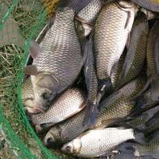 水产鲜活鲫鱼