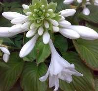 玉簪白花玉簪紫花玉簪金叶接骨木|紫花醉鱼木|黄瑞木|千屈菜|连翘