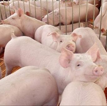 特价销售生态养殖生猪大量销售