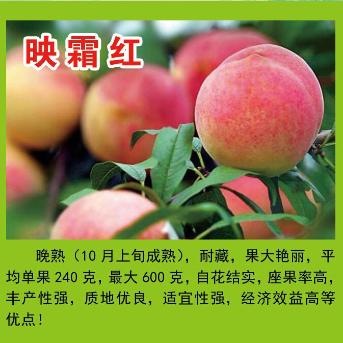 王氏明丰蜜桃园供应映霜红桃等多个品种   果大艳丽  品质优  耐储存