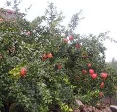 柿子树、核桃、、山楂、苹果、枣树.桃树、杏树、梨树、花椒、果石榴园艺苗木