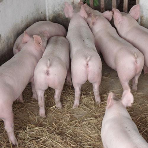生猪 良种猪 农村养殖优质种猪