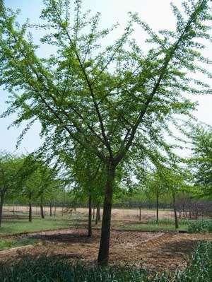 银杏树嫁接树