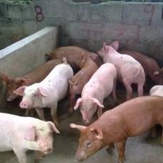 岳池县农家养殖生态猪