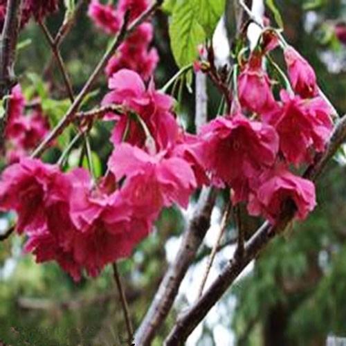 日本樱花 新品种 规格齐全 欢迎选购