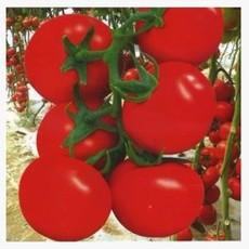 大红果番茄种子5克 基地专供 有机蔬菜种子公司
