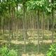 鄢陵建伟苗木基地供应5-20cm楸树等园林绿化苗木   规格齐全  成活率高