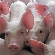 厂家批发 优质生猪苗香猪