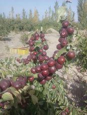 新疆哈密大红枣