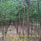 丝棉木 丝棉木种植基地 规格全 易成活