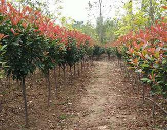红叶石楠球 鄢陵苗木基地直销 规格齐全 量大从优