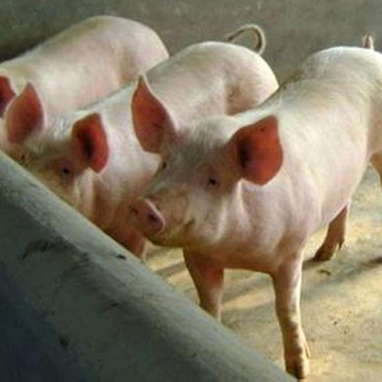 供应 大白猪 母猪