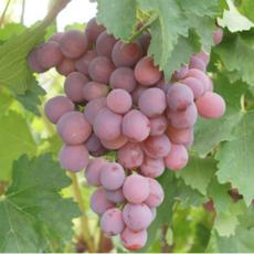 新疆特产葡萄 新鲜水果红提子 冷藏冰袋2kg  新鲜葡萄送礼佳品