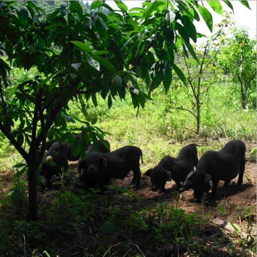 原生态散养黑毛猪 优质从猪生猪批发