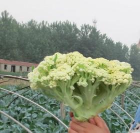 青梗花菜种子 散花 65天 菜花种子松花菜种子
