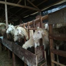 供应  大量提供湖羊 湖羊养殖
