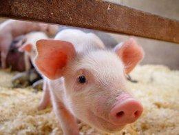 推糖、放血、补液、灌肠---猪场常见病的应急处理措施你得懂!