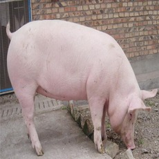 厂家供应优质大白猪 长白猪 三元猪大洛克种猪绿色生态量大从优