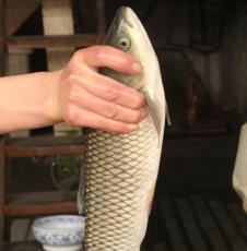 水产品鲜鱼批发 草鱼 批发零售