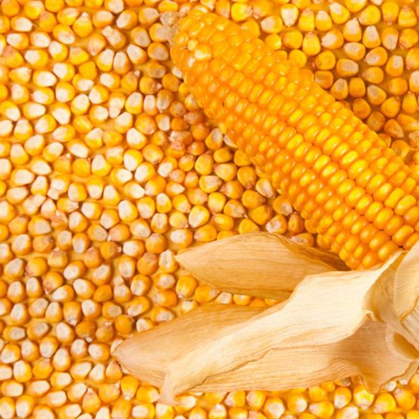 无公害 玉米粒